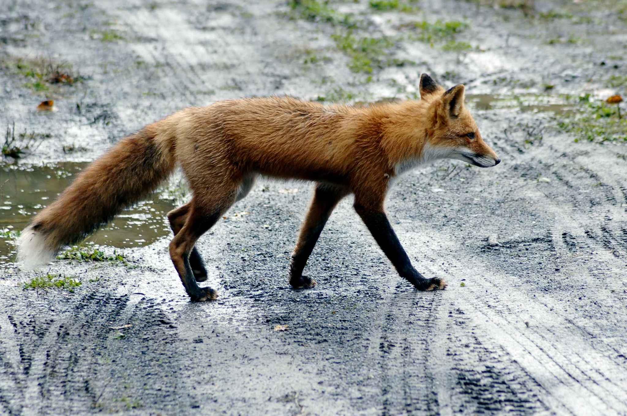 Egyre gyakrabban bukkannak fel a rókák a lakott települések közelében