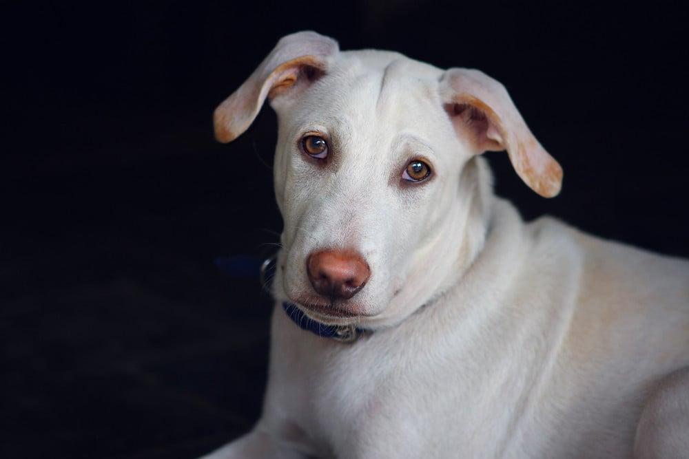 Napégés - A világos vagy rózsaszín orrú kutyák fokozottan érzékenyek lehetnek a napsugarak káros hatásaira