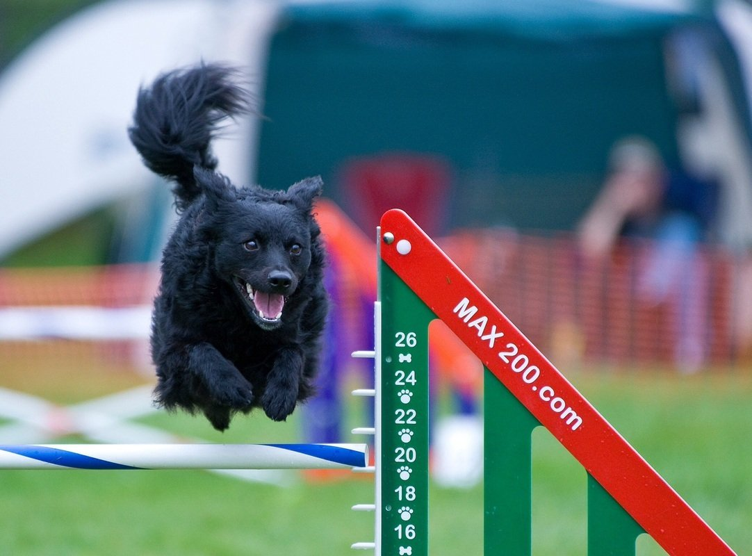 A mudi agility versenyen is remekel