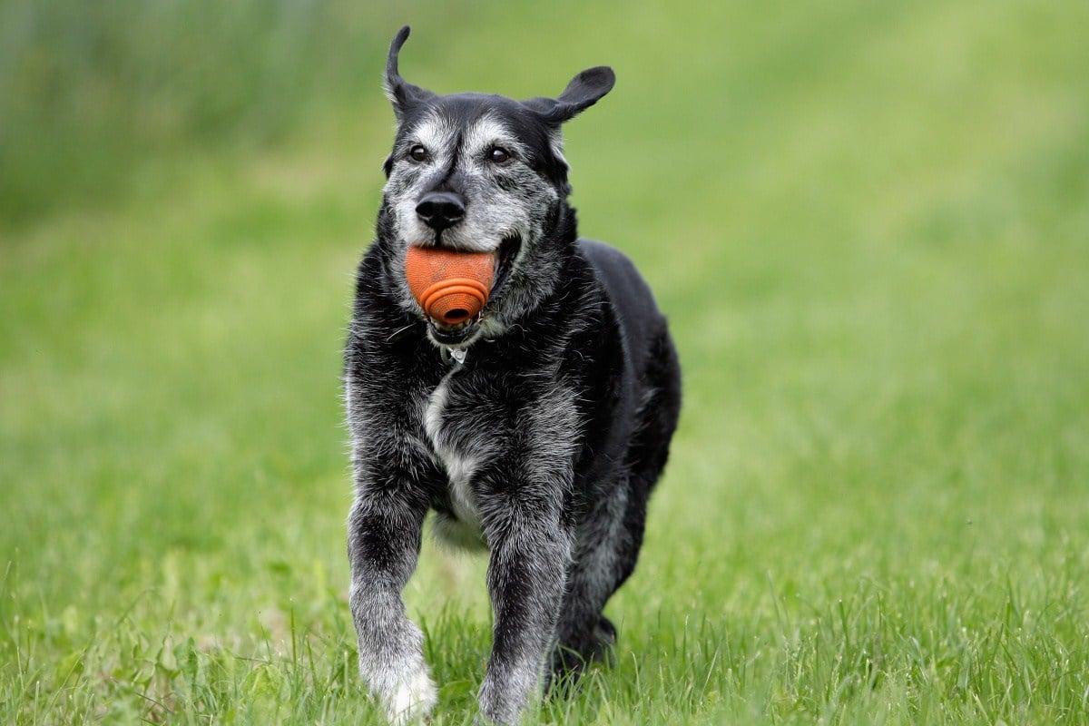 a magas vérnyomás tünetei kutyáknál)