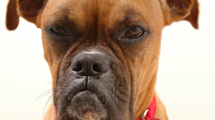 Átlátnak a szitán: tudják, ha a másik kutyával kivételezünk, de azt is, hogy ha át akarjuk verni őket