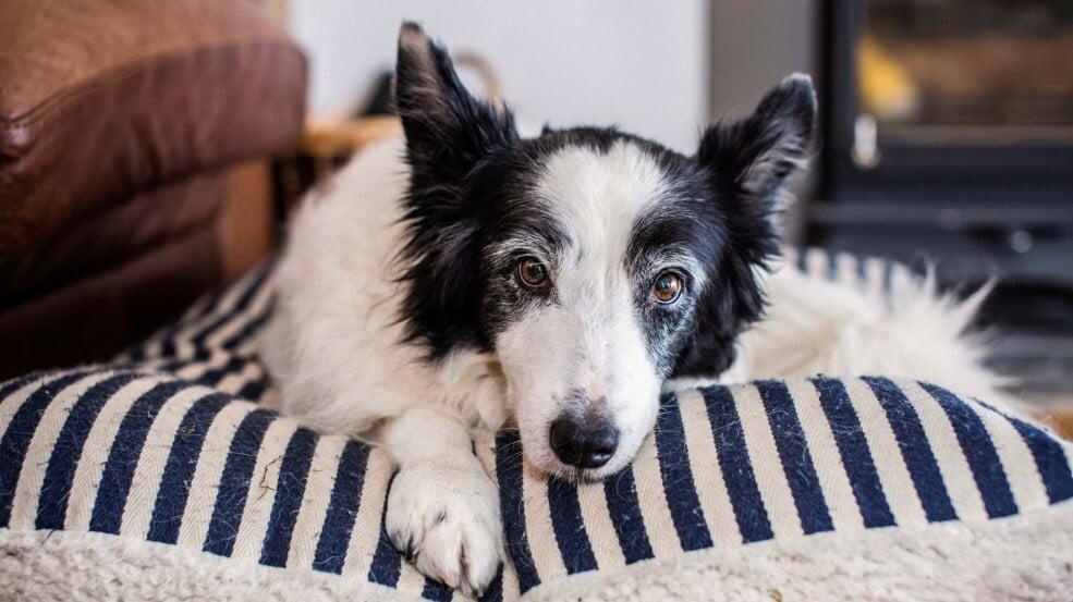 Ízületi gyulladás kutyáknál - A fájdalom miatt a kutya többet pihen, alszik
