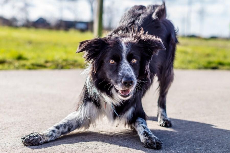 Játékos meghajlás - játékra hívás kutyáknál