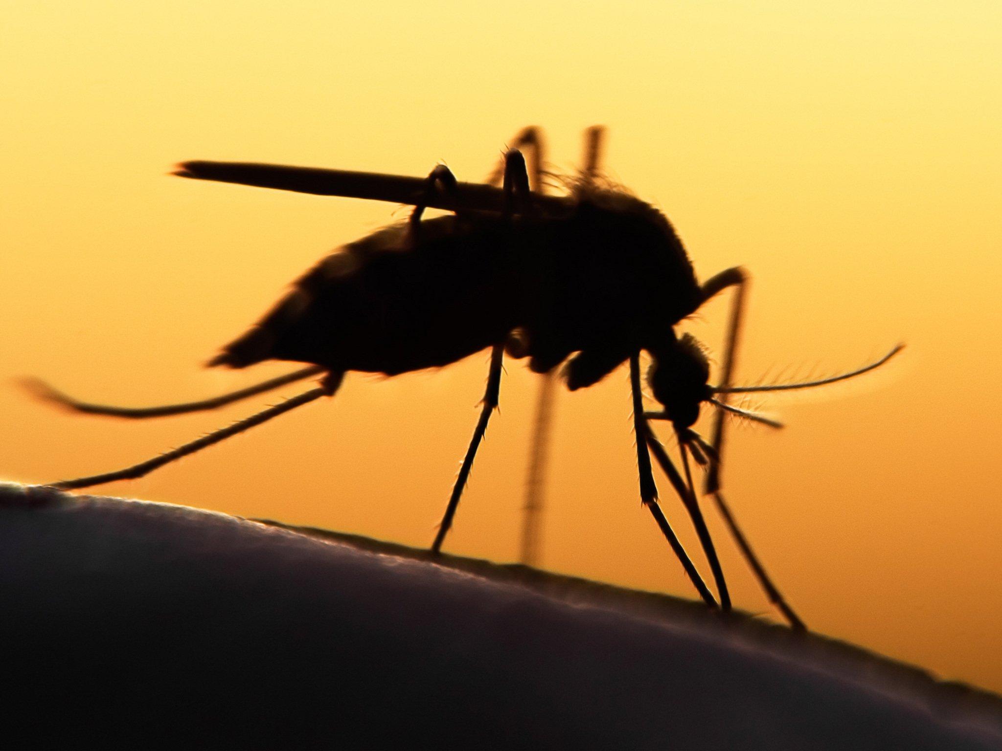 A szívférgesség terjesztője: a szúnyog
