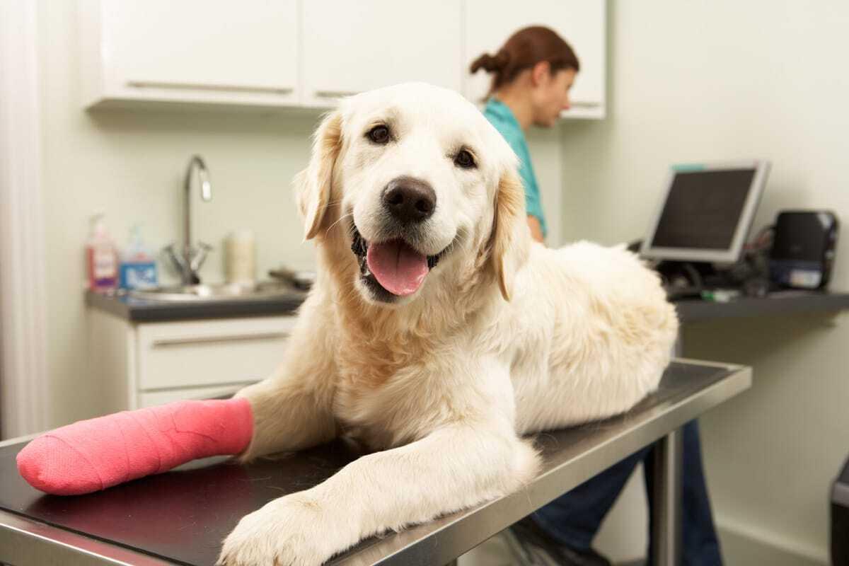 kutya emeli a hátsó lábát indometacin térd ízületi gyulladás esetén