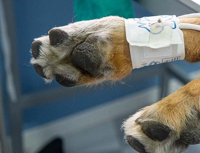 A szívizombetegség tünetei és kezelése kutyáknál