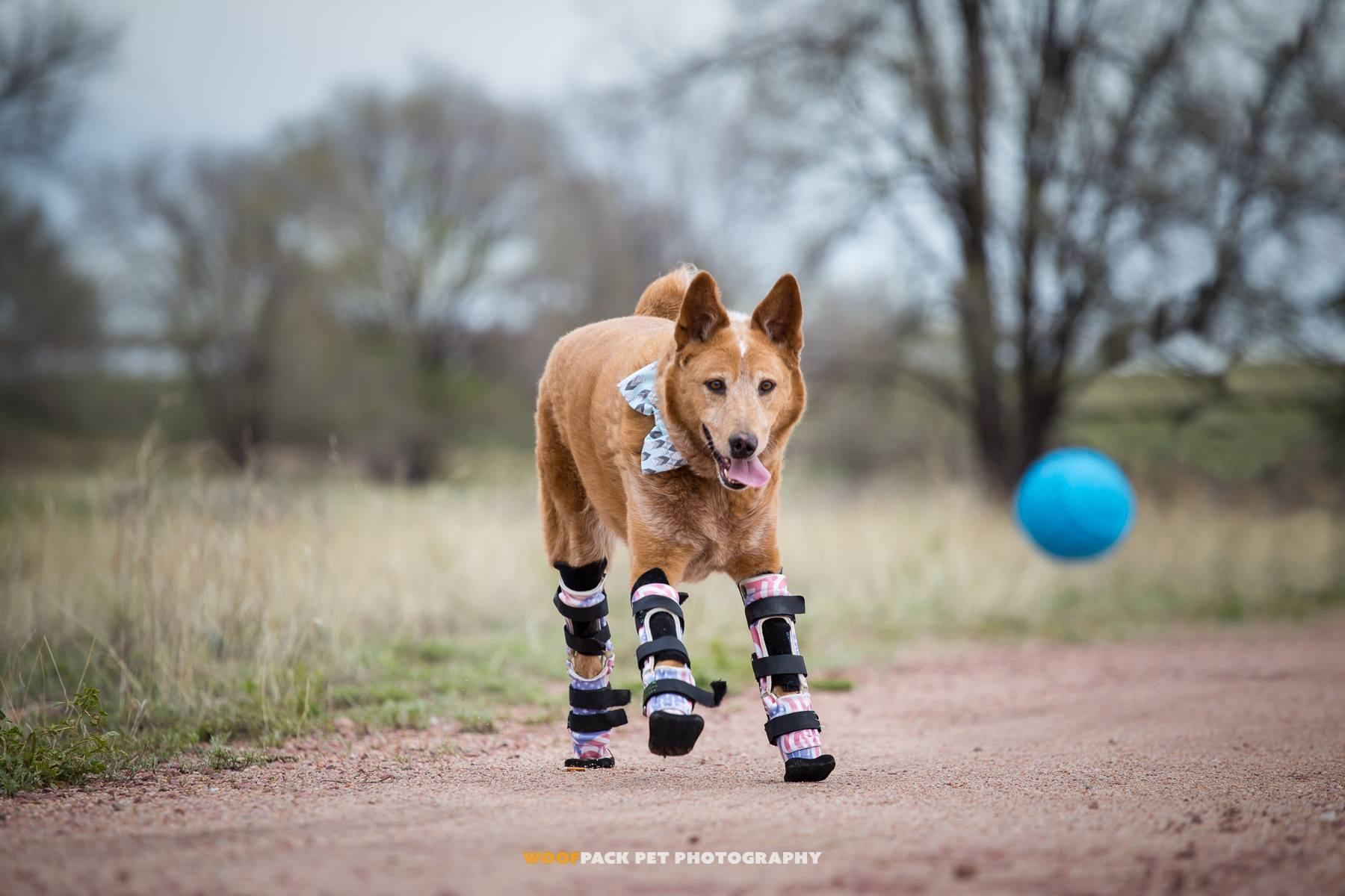 Naki'o - Az első kutya, aki mind a négy lábán protézist visel