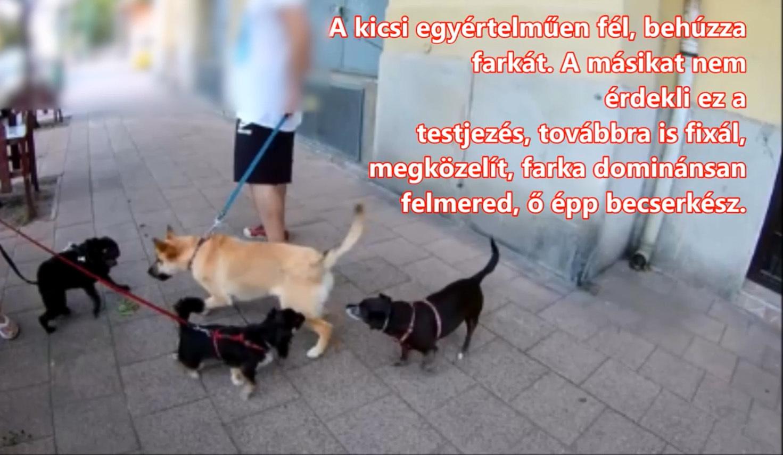 A két kutya közti feszültség plusz a póráz miatt beszűkült mozgástér fellobbantja az agressziót