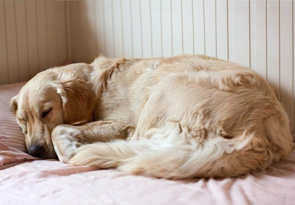 Álmodás közben a kutya agya feldolgozhatja a nap folyamán átélt eseményeket