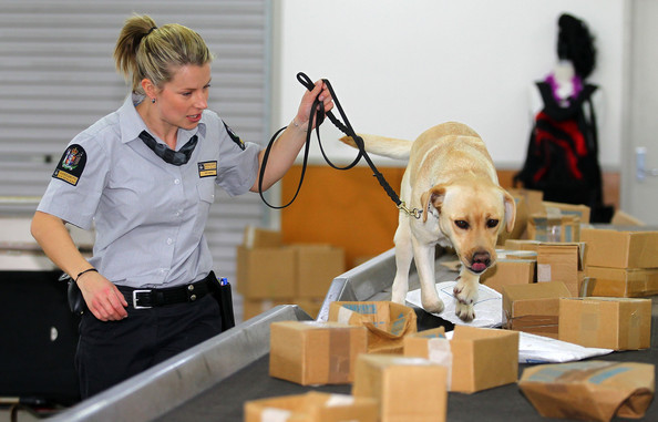 Kábítószer-kereső kutya (labrador) munka közben