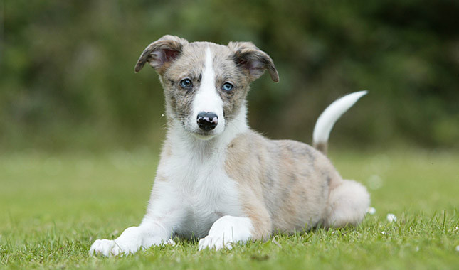 Chimera Dog For Sale