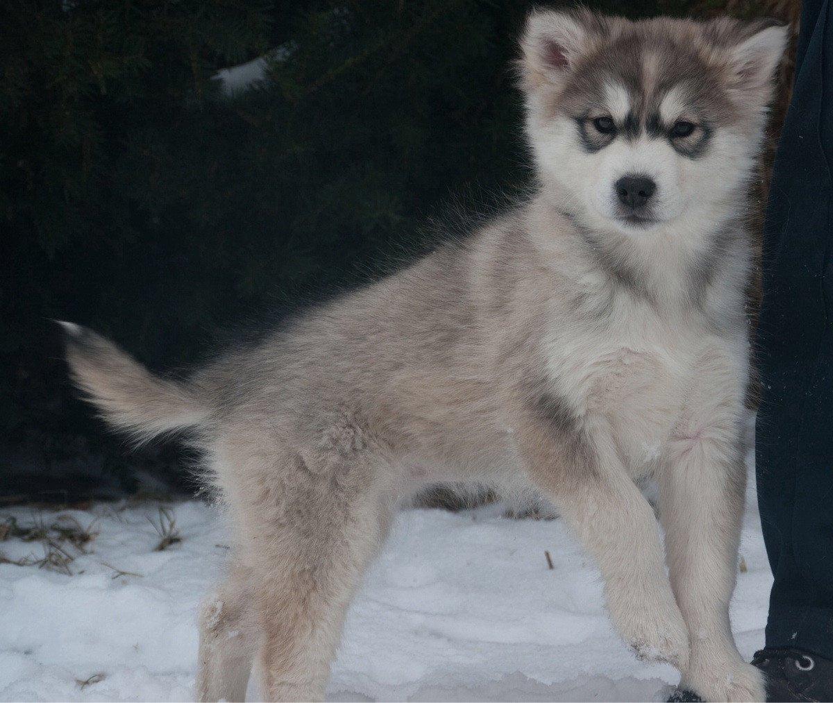 Kugsha Dog For Sale