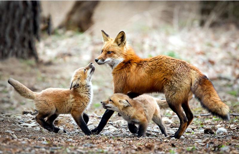 A rókák veszettség elleni immunizálása miatt több településen ebzárlat lesz