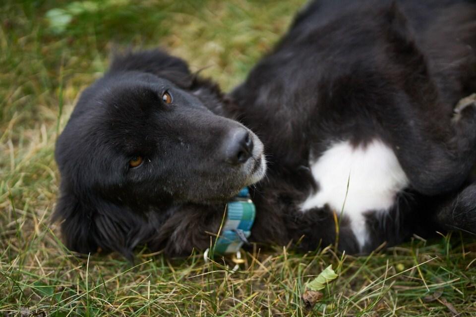 Kara - anatóliai juhászkutya keverék, egy szeméthalomról mentették