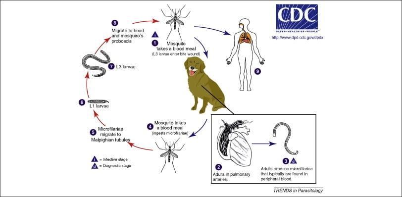 A szívférgesség fertőzésének körforgása