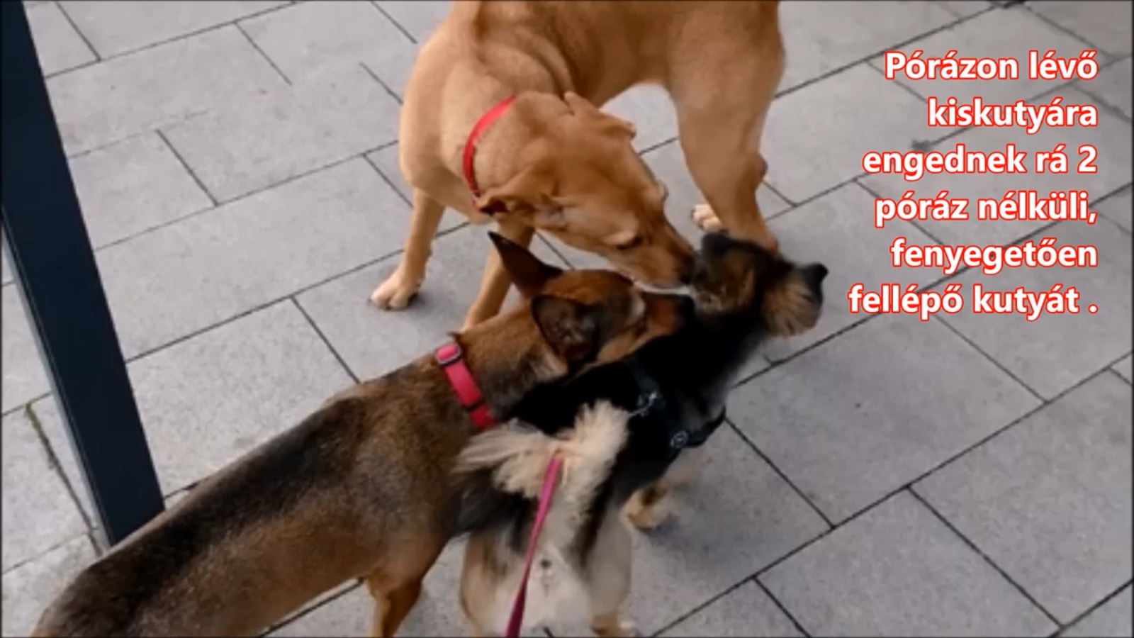 A túlerőben lévő két kutya közrefogja a kicsit. Borzolnak, testük befeszül, fejüket a kicsi teste fölé helyezik. A gazdának ilyenkor vissza kéne hívnia a kutyáit.