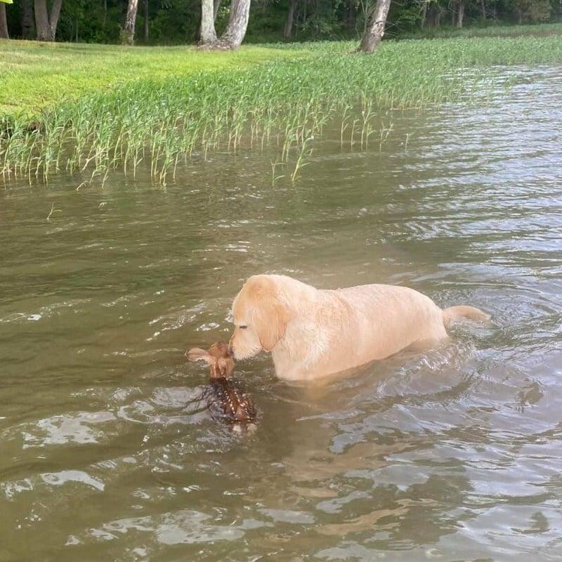 Az őzgida mellett maradt a kutya, míg kijutottak a vízből