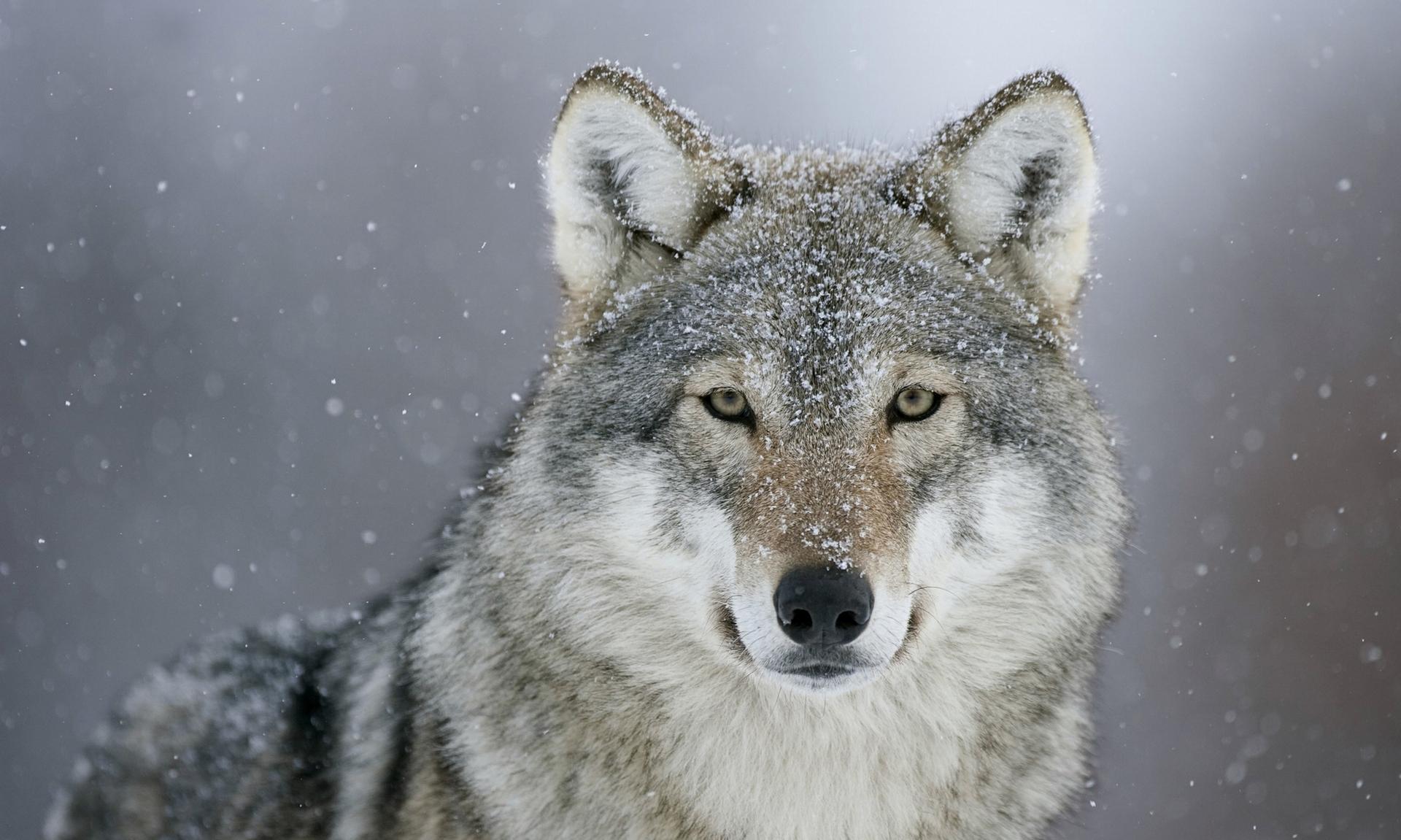 Tényleg kutya az Északi-középhegység farkasa? - Hírek