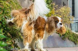 kutya szopás cső érett ébenfa képek