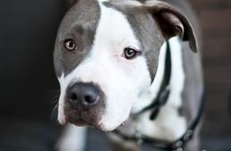 Agresszió: nem a kutya fajtája, hanem a gazdi viselkedése miatt alakulhat ki